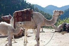 Arabisk kamel Royaltyfria Bilder