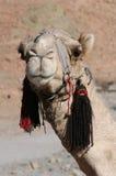 arabisk kamel Arkivfoto