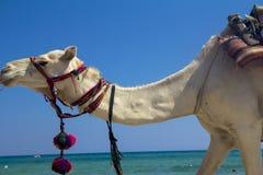 Arabisk kamel på stranden Arkivfoton