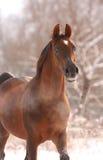 arabisk kastanjebrun häststående Arkivfoto