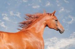 arabisk kastanjebrun häststående Arkivbilder