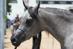 Arabisk och egyptisk häst Arkivbilder