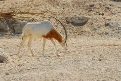 arabisk onyx Fotografering för Bildbyråer