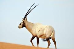 Arabisk oryxantilop Arkivbild