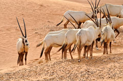 Arabisk oryxantilop Royaltyfri Foto