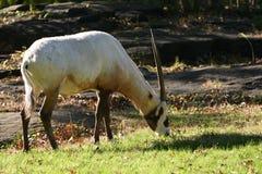 arabisk oryxantilop royaltyfri bild