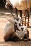 arabisk oryxantilop fotografering för bildbyråer