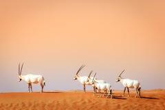 arabisk oryxantilop royaltyfria foton