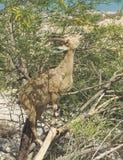 Arabisk stenbock som betar i ett träd nära Ein Gedi i Israel arkivfoton