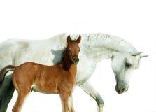 Arabisk sto och nyfödd fölstående som isoleras på vit Arkivbilder