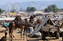 Arabiska dromedarkamel på ganska ferie för berömd kamel i den sakrala hinduiska staden Pushkar, Thar öken, Indien Arkivfoton