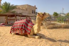 arabiska förenade kameldubai emirates Arkivfoton