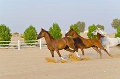 arabiska hästar Arkivfoto