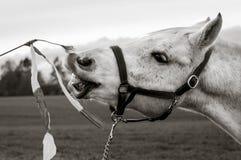 Arabiska hästlekar Fotografering för Bildbyråer