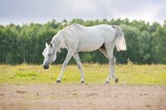 arabiskt beta white Royaltyfri Bild