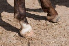 Arabiskt fullblods- hästbenslut upp royaltyfri fotografi