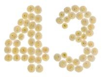 Arabiskt tal 43, fyrtiotre, från kräm- blommor av chrysanthe Arkivbilder