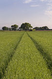 Arable Farm Crop. Farm with Cerial Crop and Trees Stock Image