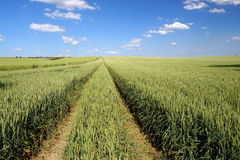 Arable field. Field of ripening winter wheat corn Stock Photo