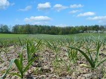 Ripening garlic field Royalty Free Stock Images