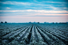 Arable field in winter. Planted arable field in winter frost beneath a cloudy sky Stock Image