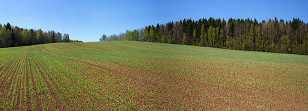 Arable field. With young green sprouts on the forest background. Rural landscape Royalty Free Stock Photography