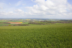 Arable fieldscape in springtime. An arable landscape on the yorkshire wolds viewed across a field of young wheat Stock Photo