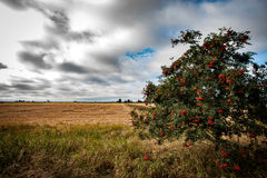 Arable landscape. With late summer sky rowan tree otherwise known as mountain ash - Sorbus aucuparia laden with berries Royalty Free Stock Images