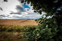 Arable landscape. With late summer sky sycamore tree Acer pseudoplatanus laden with mast Stock Photography
