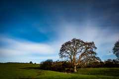 Arable landscape with mature tree. Typical rural farming landscape with large, mature sycamore tree Stock Image