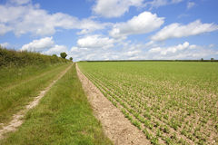 Arable landscape with pea field. Summer landscape with a grassy track running by a hedgerow and a field of young peas  on the chalk soil of the yorkshire wolds Royalty Free Stock Image