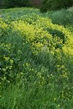 Arable mustard. On a Slope stock photography