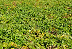Arable with potatoes. Detail of a field with potatoes in Zelhem, The Netherlands Stock Photography