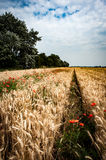 Arable weeds. Group of arable weeds on the margins of a barley field in the Fens of the UK Stock Images