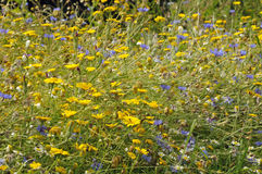 Arable Wild Flowers Stock Photo