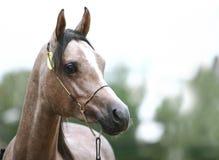 Arabo all'esposizione del cavallo Fotografie Stock