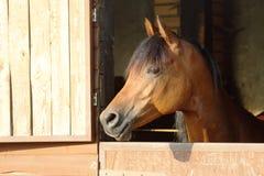 Arabo con la testa che esamina la porta di legno della stalla Fotografia Stock Libera da Diritti