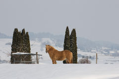 Arabo-Haflinger. A beautiful horse stands on a hill in a winter landscape Stock Photography