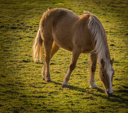 Arabs haflinger. A horse on a wintry green pasture Stock Image