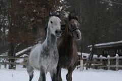 Arabscy koni bieg Zima fotografia stock