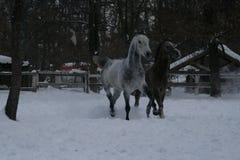 Arabscy konie biegają w śniegu w padoku zdjęcie stock