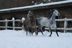 Arabscy konie biegają w śniegu w padoku przeciw zimy stajence zdjęcie stock