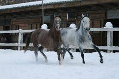 Arabscy konie biegaj? w ?niegu w padoku przeciw zimy stajence obrazy stock