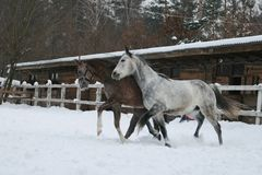 Arabscy konie butwieje w śniegu zdjęcie royalty free