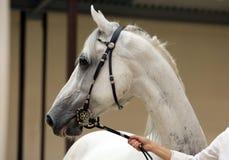 Arabski biegowy koń w padoku obrazy stock