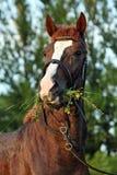 Arabski biegowy koń z klasyczną uzdą zdjęcie stock