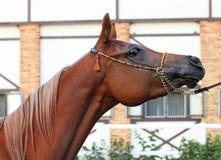 Arabski biegowy koń w stajence zdjęcia stock