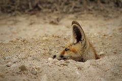 Arabski czerwony Fox przy jego meliną fotografia royalty free