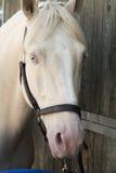 Arabski i Egipski koń Zdjęcia Royalty Free