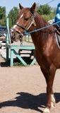 Arabski imbirowy ogier, niewywrotny tło w tor wyścigów konnych zdjęcie stock